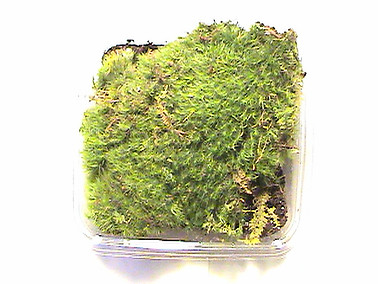 Live Frog Moss